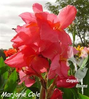 Marjorie Cole another Australia Cole Cannas