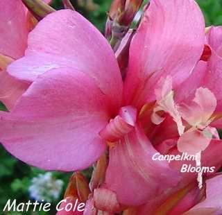 The pink Australian plants include Mattie Cole