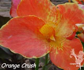 canna orange crush
