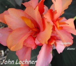 Canna plants John Lochner
