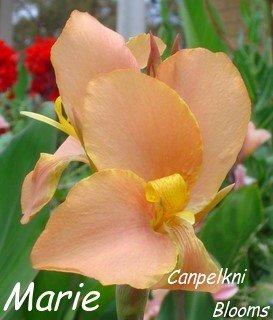 canna Marie