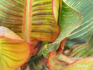 Picture of canna Pringle Bay leaves beautiful striped and variegated plants in the garden