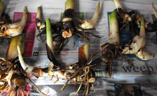 Bare rooted canna rhizomes