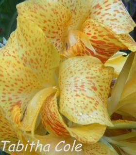 Photo of Spotted flowers of garden plant canna Olive Cole