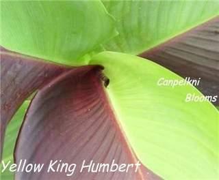 cannas x gereralis plants