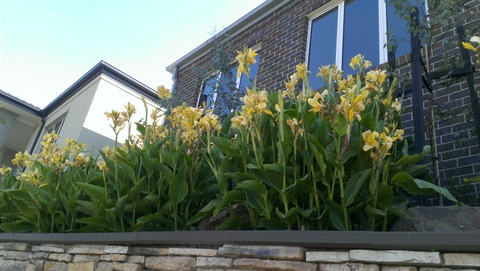 yellow flowering cannas in Victoria