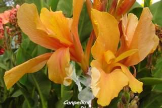 cannas flower evolution