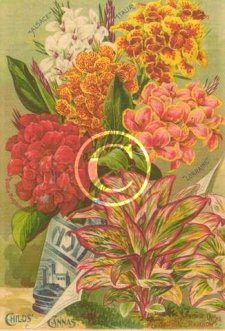 John Lewis Childs Grand Flowering Cannas litho print with pictured plants of Duke of Marlborough, New Variegated Foliage Canna Rainbow, pink and yellow canna named Lorraine, white Alsace and Italia.