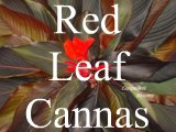pictures of red cannas with dark bronze brown or black leaves