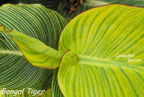 striped foliage of canna bengal tiger