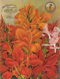 A World Breeders Print of New French Cannas
