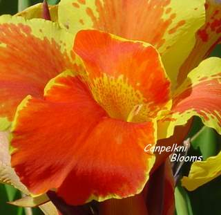 picture of cannas flower