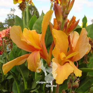 picture of orange canna lillies