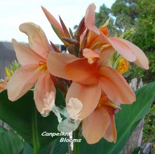 picture of pastel orange flowering canna plant