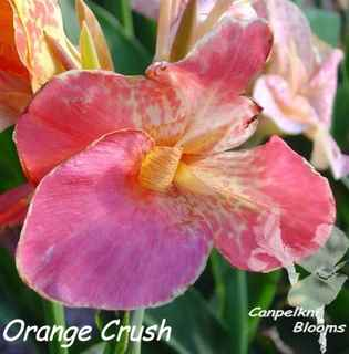 garden plants Orange Crush