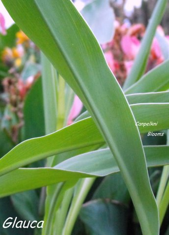 PIcture of foliage and margin on canna Glauca