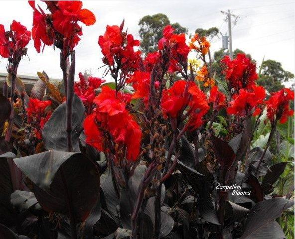 Picture of cannas Tropicanna Black, Feuerzauber and Prince of Burgundy and the cultivar Australia and Red King Humbert