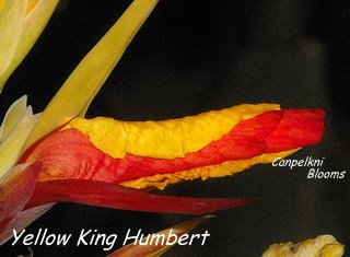 Yellow King Humbert Is sometimes also called canna Cleopatra.