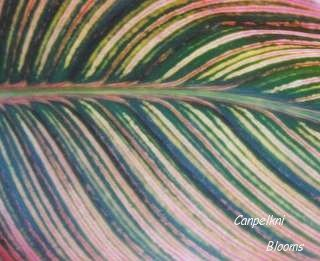 pictures of canna Pringle Bay leaves that are striped