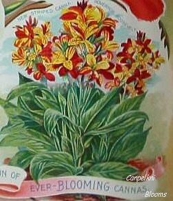 old variegated cannas