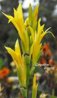 Dont over water small little canna plants