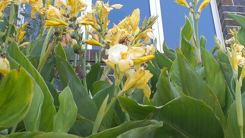 yellow canna lillies growing at Maribyrnong.