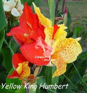 picture of garden plant Yellow King Humbert
